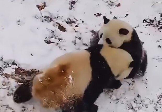 Невероятно милые панды устроили забавные игрища на снегу: это фото точно поднимет вам настроение
