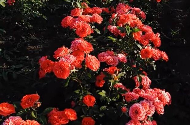 Вирощування троянд, скріншот з відео