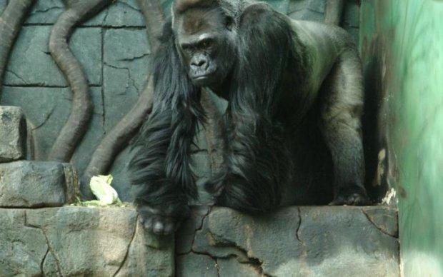 Ніжна горила підкорила молоду американку