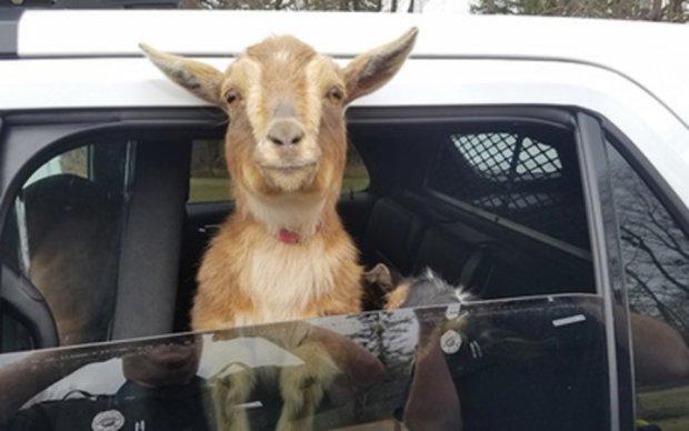 Американские копы схватили двух коз
