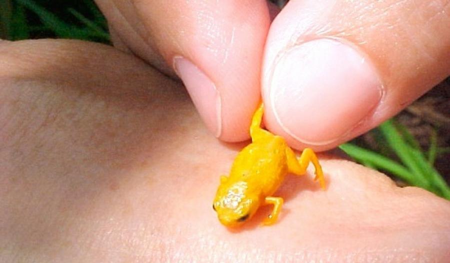 У Бразилії виявлені невідомі види крихітних отруйних жаб  34ef7720622db
