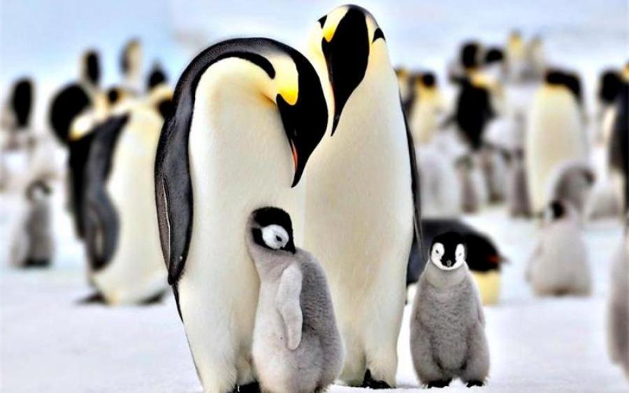 Всесвітній день пінгвінів 25 квітня: неймовірні факти - ЗНАЙ ЮА