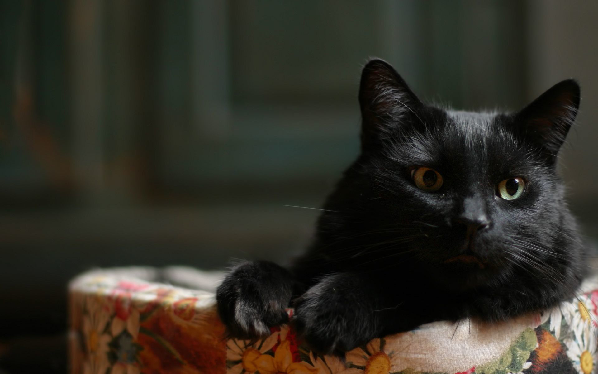 Обои На Рабочий Стол Черный Кот