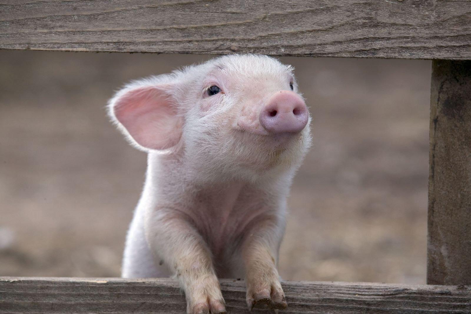 Картинки смешных свинюшек, открытки днем