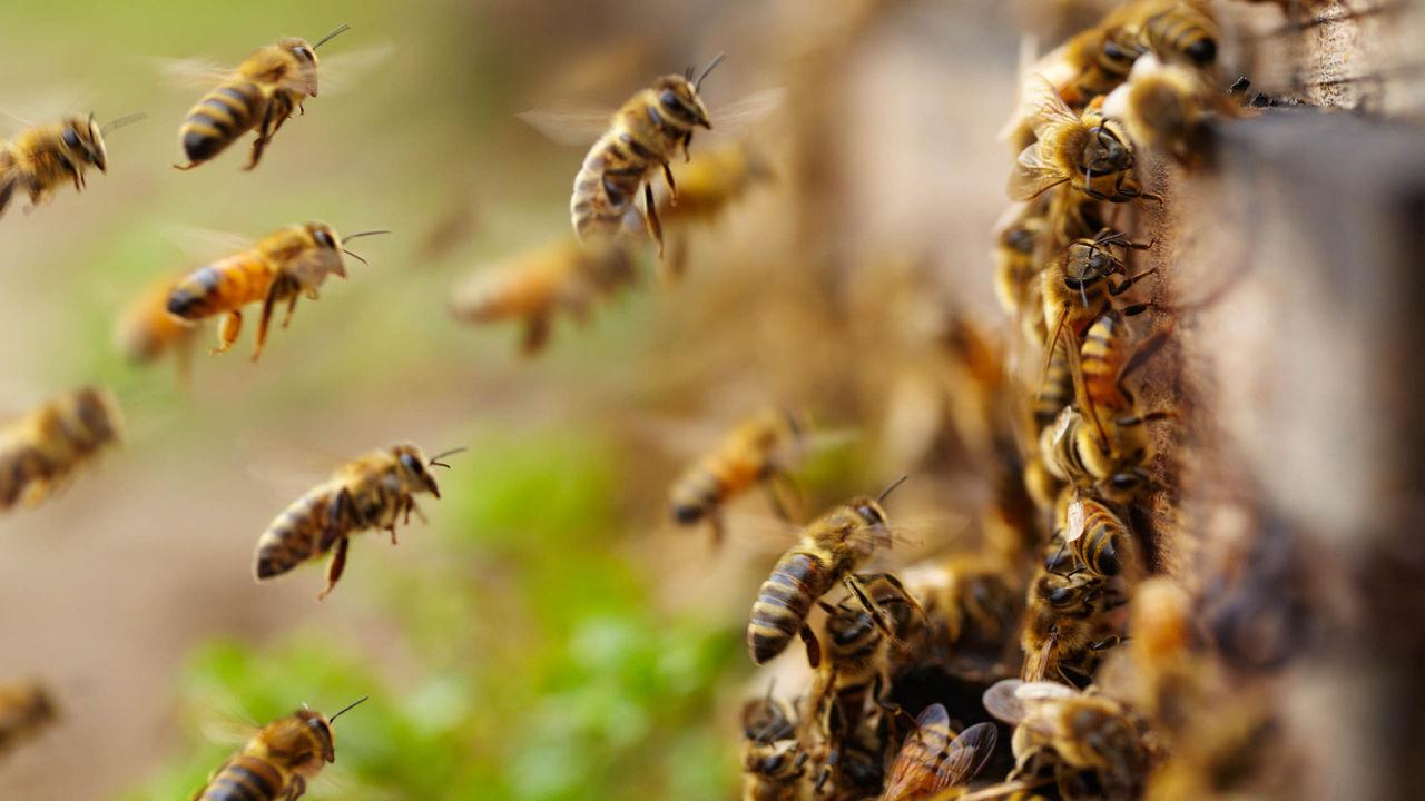 У центрі Франківська рятувальники відловлювали рій бджіл